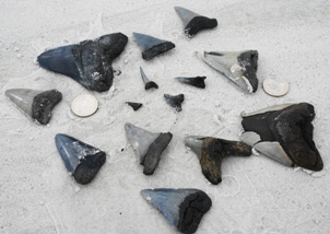 fossilized sharks teeth