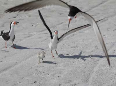 Shorebirds on Anna Maria Island