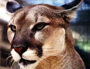 b568e7d07dd State Mammal  Florida Panther